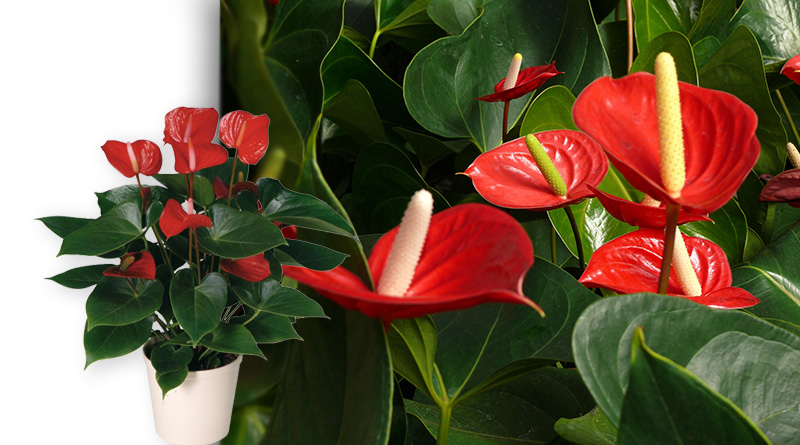 Полезное растение для дома Атриум Андре