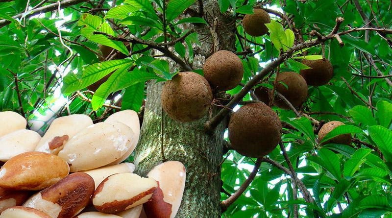 Бразильский орех для иммунитета