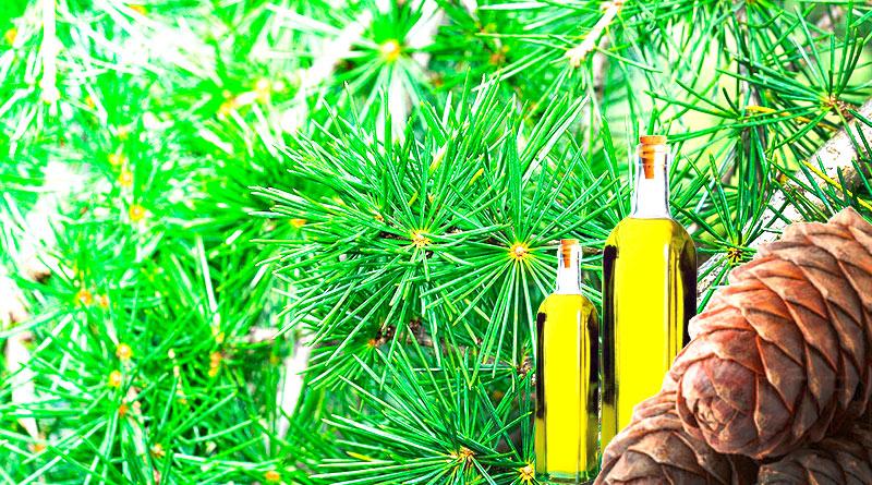 Запах кедрового масла для дома
