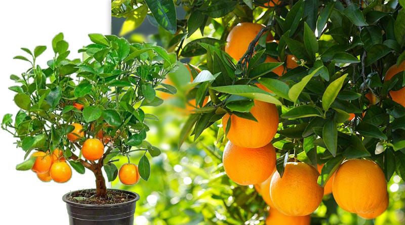 Полезное растение цитрус для дома
