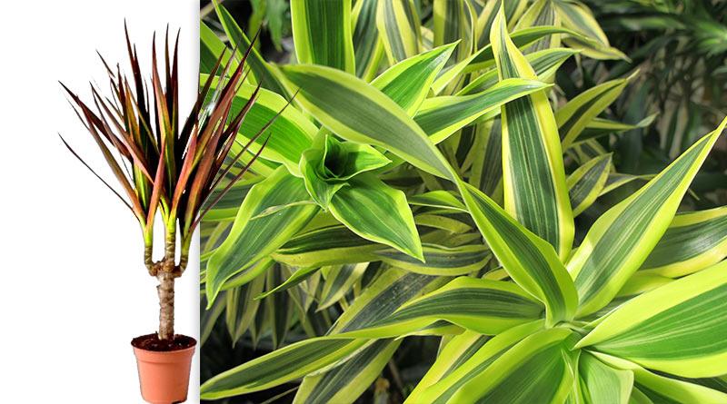 Драцена для дома растение