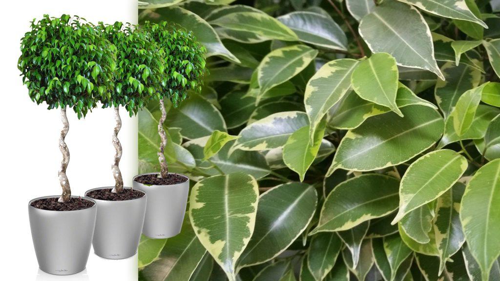 Полезное растение фикус