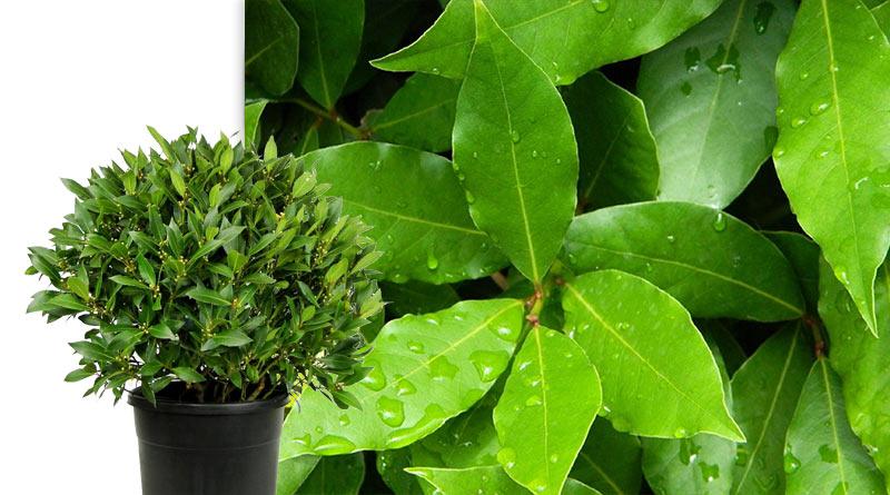 Лавр для дома полезное растение