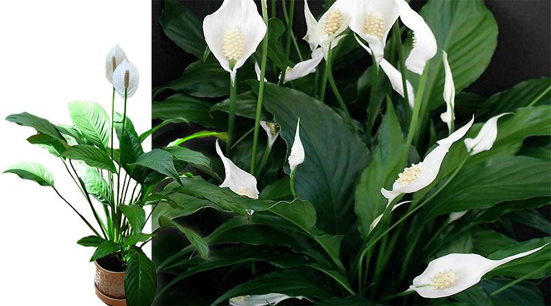 самое самое полезное растение дома