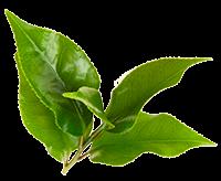 Зелёный чай жиросжигатель