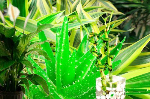 растения приносящие удачу